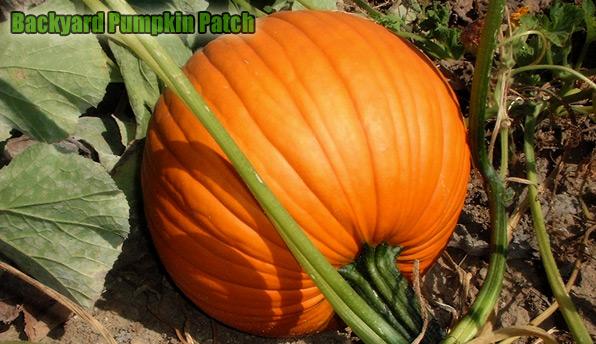 halloween pumpkin carving growing a pumpkin patch - Growing Halloween Pumpkins